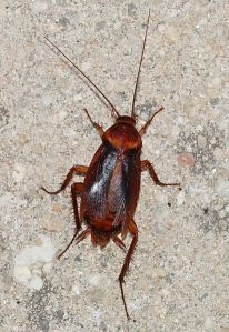 412px-Cockroach_August_2012-2