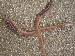 Worm Cross